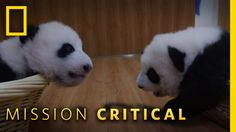 Join us as we countdown the Top 3 Cutest Panda Babies from Mission Critical. ➡ Subscribe: ➡ Watch all clips of Mission Critical here: ➡ Get More Mission Critical: ➡ MISSION CRITICAL AIRS SUNDAY OCTOBER 9 at 9/8c. About Mission Critical : When National Geographic photographers go on assignment,...  https://www.crazytech.eu.org/top-3-cutest-panda-baby-moments-mission-critical/