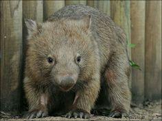 Mr. Wombat!