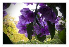 [2013 - Geraz do Minho - Portugal] #fotografias #flor #flores #flower #flowers
