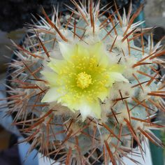 Copiapoa cinerascens KK176