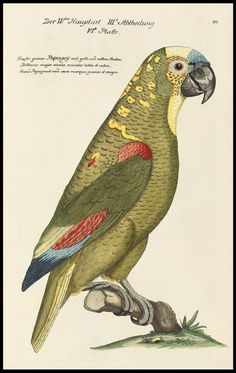 Hand-coloured engraving of a green parrot, 1733