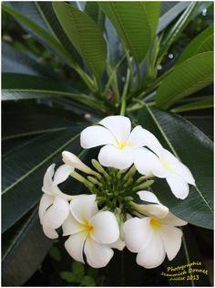 Frangipanier aux fleurs blanches