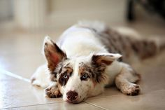 Medium coat, red merle Koolie Koolie Dog, Herding Dogs, Rough Collie, Dog Pictures, Funny Dogs, Fur Babies, Dog Breeds, Dogs And Puppies, Dog Cat
