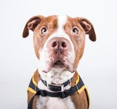 "Otto - URGENT - Dekalb County Animal Shelter in Decatur, Georgia - ADOPT OR FOSTER - 5 year old Neutered Am. Pit Bull Mix - Otto would make the perfect ""Netflix and Chill"" dog. His ideal day consists of binge watching TV with you, treats on his comfy bed, lots of naps, belly rubs and a relaxing walk. If you're looking for a super laid back canine companion, look no further. Otto is your guy! Don't let his size fool you- this guy is a cuddle bug and wants nothing more than to lay next to you."