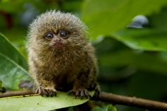 Pygmy Marmoset which is the smallest of the monkeys, can easily fit in the palm of your hand. So adorable!