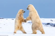 'The mother would come up first and meet the sub adult, then let her cub play like she was teaching him to interact.' Although they usually hunt alone they polar bears can be quite social and playful with each other.Ursus maritimus, the animal's Latin name, translates to sea bear. They can swim for several hours to get from one piece of ice to another with their thick coat and layer of fat keeping them warm