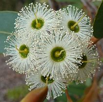 Found from Jurien Bay to the south coast & inland to Narrogin. The white flowers are produced from September to February. Australian Native Garden, Australian Native Flowers, Australian Plants, Trees And Shrubs, Flowering Trees, Trees To Plant, Love Flowers, White Flowers, Beautiful Flowers