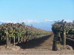 Grapevines in Bakersfield California