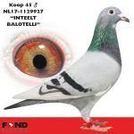 "45 - NL17-1129927 ""INTEELT BALOTELLI"" ♂ | De Duif"