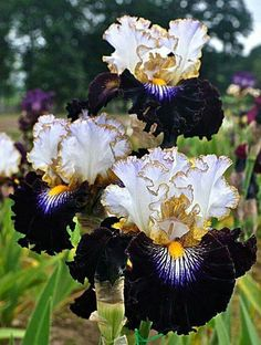 When my irises came up this year 60 buds packed into a few square feet I realized that I need many more of these magical flowers Tall Bearded Iris Society Unusual Flowers, Amazing Flowers, Beautiful Flowers, Iris Garden, Garden Plants, House Plants, Iris Flowers, Planting Flowers, Tall Flowers