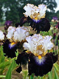 Snowed In iris