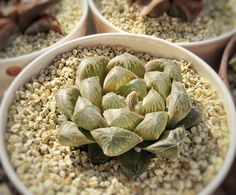 Haworthia|Bellesplants-8ページ目