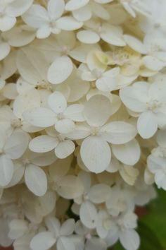 Hydrangea 'Limelight' from my garden