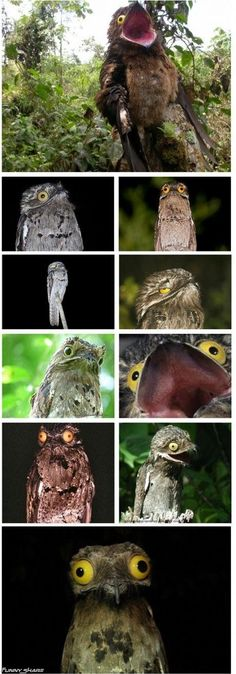 """I present to you the Potoo: the most ridiculously unphotogenic bird ever"""