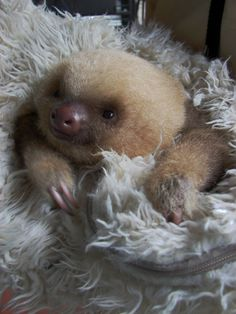A baby sloth, I know they love crunchy green beans. It's so amazing to watch them eat.