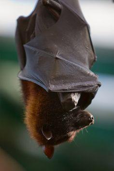 7 Animals with the Weirdest Genitalia on Earth - BATS