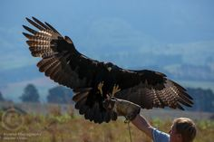 A South African Black Eagle (Verreaux's Eagle (Aquila verreauxii)) lands on a trainers glove at the Falcon Ridge bird of prey center. - Alvarez Photography Print and Stock Eagle Wings, Black Eagle, Birds Of Prey, Raptors, Eagles, Mother Nature, 1, Creatures, African