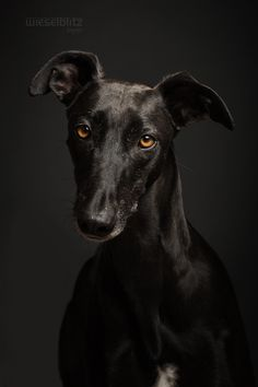 Galgo Español by Elke Vogelsang, via 500px Looks so much like Sampson!