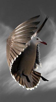 Auréolé de plumes. / Mouette. / Seabird in motion.