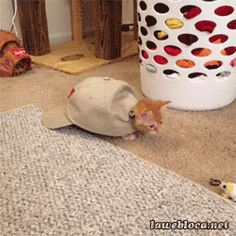 Cat in the hat. gif
