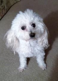 Petango.com – Meet Darcy, a 10 years 1 month Poodle, Toy available for adoption in SAINT PETERSBURG, FL
