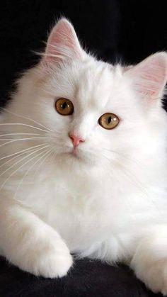 White cat White Kitty Cat Cats, , Pretty cats white cats for sale - Kittens Cute Cats And Kittens, Baby Cats, I Love Cats, Cool Cats, Kittens Cutest, Baby Animals, Cute Animals, Funny Kittens, Pretty Cats