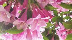 Afbeeldingsresultaat voor bloesemboom achtergrond