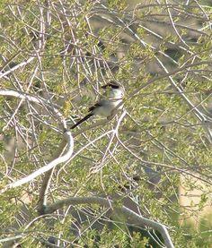 #Loggerhead Shrike.  Apr  8, 1983  Saranac Lake, NY  SLHS at Pond w/ Dave Photo TRD - 716 loggerhead shrike 2, nov 28, 2003, Jenny's Wash, Ahwatukee, Phoenix, AZ