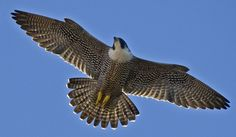 Peregrine falcon ----This is the fastest animal in the world.  It can reach speeds up to 202 miles per hour while swooping or diving.
