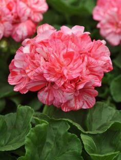 Geranium Zonal 'Peppermint Twist'