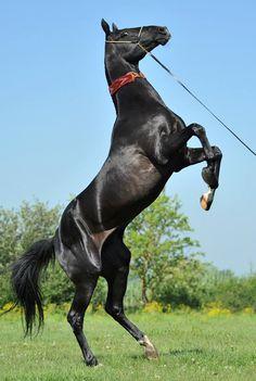 KARAKHAN (Maksut 2nd - Davenda) black, born in 2000, line Fakirpelvan. Measurements: 158-158-176-19,0 sm. Owner: Timchenko Studfarm, Russia ©Yuliya Kuznetsova 2014