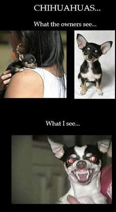 I love dogs but chihuahuas are evil.