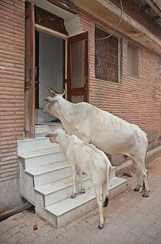 Til the cows come home.  #vrindavan #india