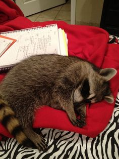 Rosie the Raccoon Animals And Pets, Baby Animals, Funny Animals, Cute Animals, Baby Raccoon, Racoon, Most Beautiful Animals, Funny Animal Pictures, My Animal
