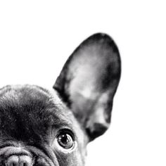 French Bulldog – Playful and Smart Animals And Pets, Baby Animals, Funny Animals, Cute Animals, French Bulldog Puppies, Frenchie Puppies, French Bulldogs, French Bulldog Art, French Bulldog Wallpaper