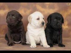 [Watch Video] Cutest Labrador Puppy Compilation Cute Funny Adorable
