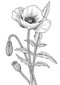 Awesome Drawing of California Poppy Coloring Page