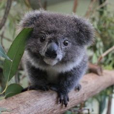1000 Images About Koala Bears On Pinterest Koalas