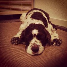 Yoga for doggies: ze bullet dog pose #dogs #yoga #animals #love #pets