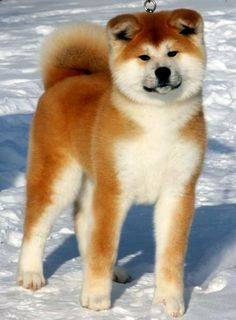 "Click visit site and Check out Hot ""Akita Dog"" T-Shirts & Hoodies. This website is excellent. Tip: You can type ""your first name"" or ""your favorite shirts"" by using search bar on the header. Akita Dog, Akita Puppies, Cute Puppies, Cute Dogs, Dogs And Puppies, Doggies, Shiba Inu, Chien Akita Inu, Japanese Dog Breeds"
