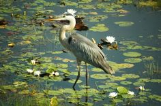 A great blue heron fishing in the shallow waters of Bayou La Batre, Mobile, Alabama, United States, 2006, photograph by Steve Neitzel.