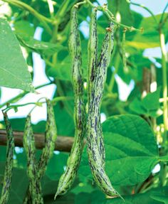 Rattlesnake Bean I love beans that can be used fresh or dried....versatile vegetables :)