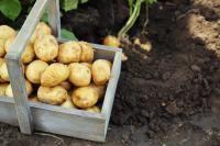 Pommes de Terre au Lard de Mémé Le Deun