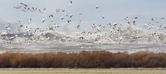 Snow Geese by Rusty Lewis on 500px. Snow Geese at Bosque del Apache. New Mexico.