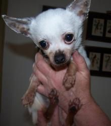 Chilly is an adoptable Chihuahua Dog in Waterford, MI.   Chilly is a very tiny 3 1/2 year old chihuahua. He came to us from another rescue. He is white and tan and weighs about 4 pounds. Chilly has...