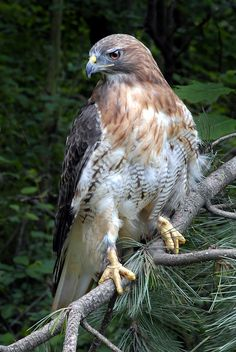 Red-tailed Hawk (Buteo jamaicensis) from Alaska and Canada south to Panama and the West Indies