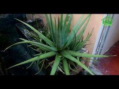 Tu pene Crecerá tan grande como el mio Si te pones Aloe Vera o Sabila de esta Forma - YouTube
