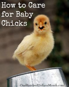 How to Care for Baby Chicks on $100 A Month at http://www.onehundreddollarsamonth.com/how-to-care-for-baby-chicks-2/