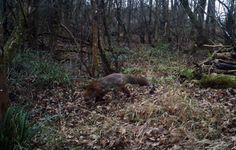 Fox #wildlife - http://anenglishwood.com/?p=10597