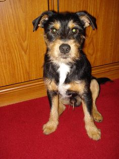 Yorkie jack russell adult